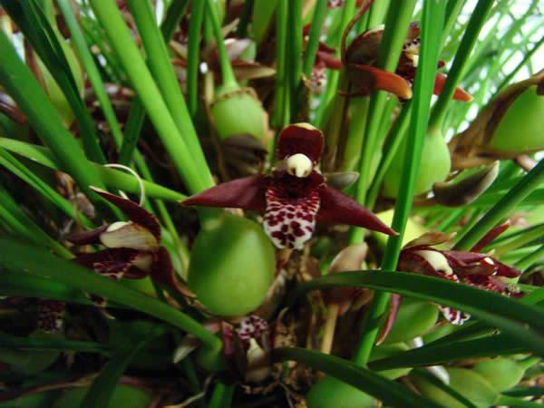 Best Species and Speakers Choice Award Maxillaria tenuifolia Grown by Jack Knuese