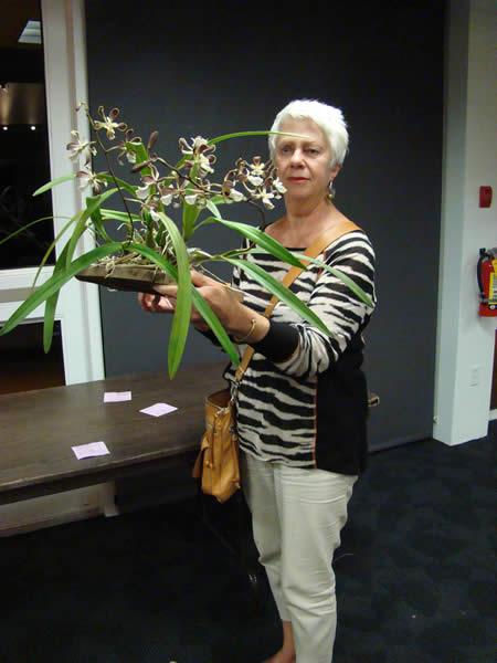 Novice Award Encyclia Gail Nakagaki (E. cordigera x E. alata) Grown by Ria Escoban