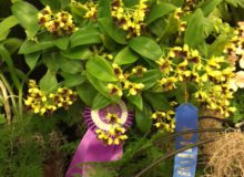 January 2016 Show – Dendrobium Class – Blue Ribbon Award plus Best Specimen in Show