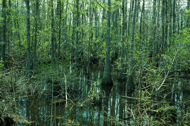 Fig D-Cypress swamp-Fakahatchee-SD-low