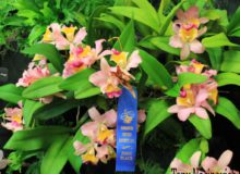 January 2016 Show – Small Cattleya Class – Blue Ribbon Award