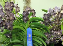 January 2016 Show – Vandaceous Alliance – Blue Ribbon Award