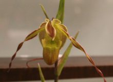 Best Species-Kathy Lewis-Phrag. longigolium (2)