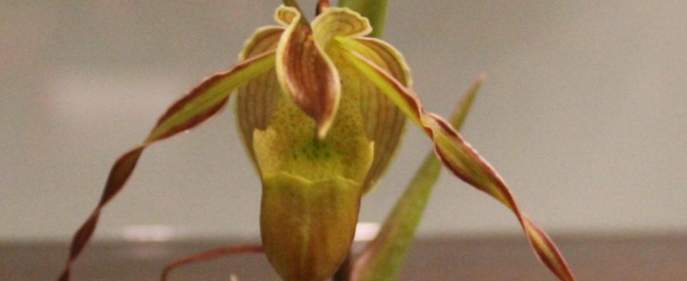 Best Species-Kathy Lewis-Phrag. longigolium (2)