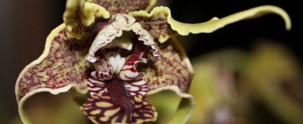 Best Species-Susan Gerhardt, Den. spectable (1)