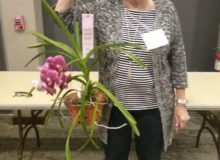 Best Novice, Vanda Hybrid, Veronica Foster - Copy - Copy