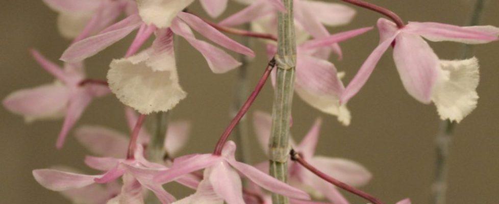 Best Novice, Kathie Gorman-Dendrodium cuculatum