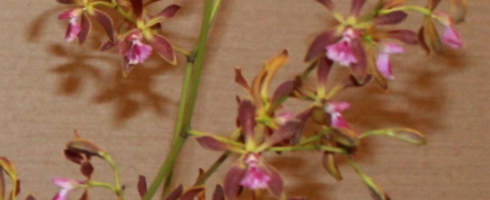 Best Hybrid, Susan Gerhardt-Encyclia Thomas Fennell 'Jungle Candy' (3) - Copy