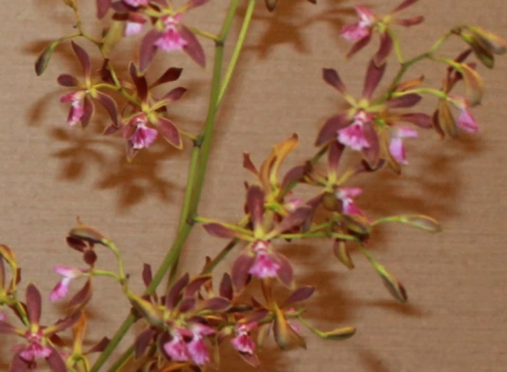 Best Hybrid, Susan Gerhardt-Encyclia Thomas Fennell 'Jungle Candy' (3) - Copy