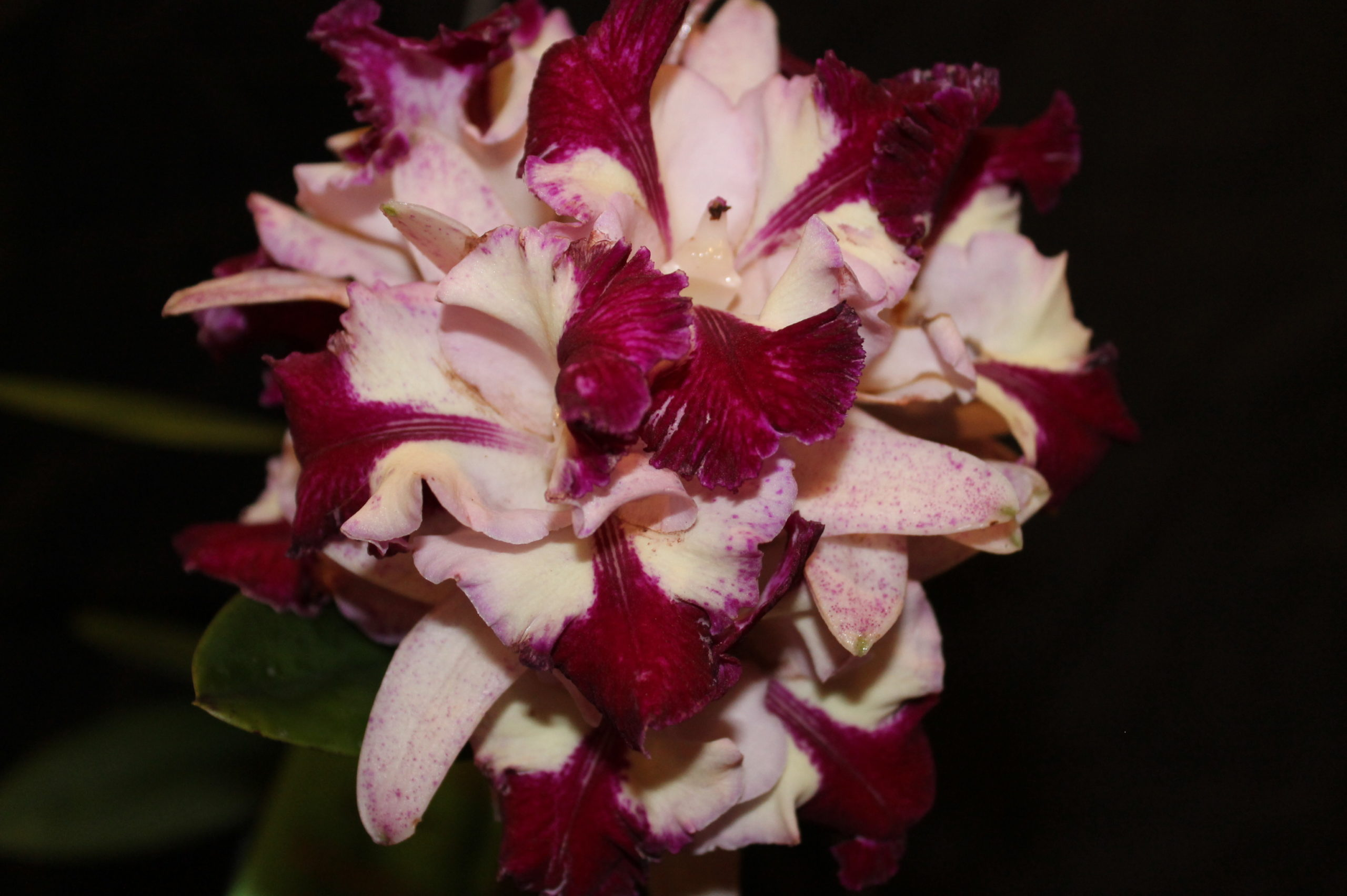 Best Hybrid Jill Lopez Lc. Hawaiian Fantasy x C amethyestoglossa 2