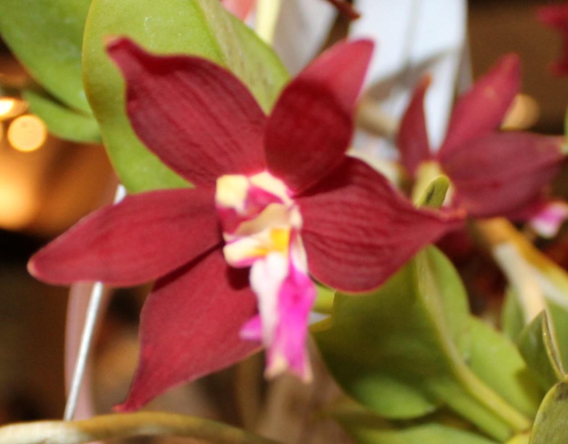 Best Species and Speakers Choice-Monroe Kokin-Tricholgbttis bachiata 'Philipines'