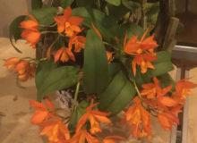 Best Hybrid-Cora Sanders-Lc. Trick or Treat 'Orange Beauty' AM-AOS