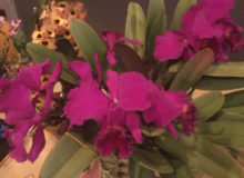 Best Species-Micah Dault-Cattleya mossiae var. rubrum