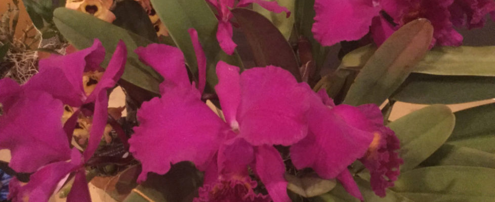 Best Species-Micah Dault-Cattleya mossiae var. rubrum