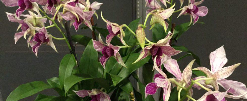 Best Hybrid - Susan Gerhardt - Dendrobium Fire Wings 'Cora'