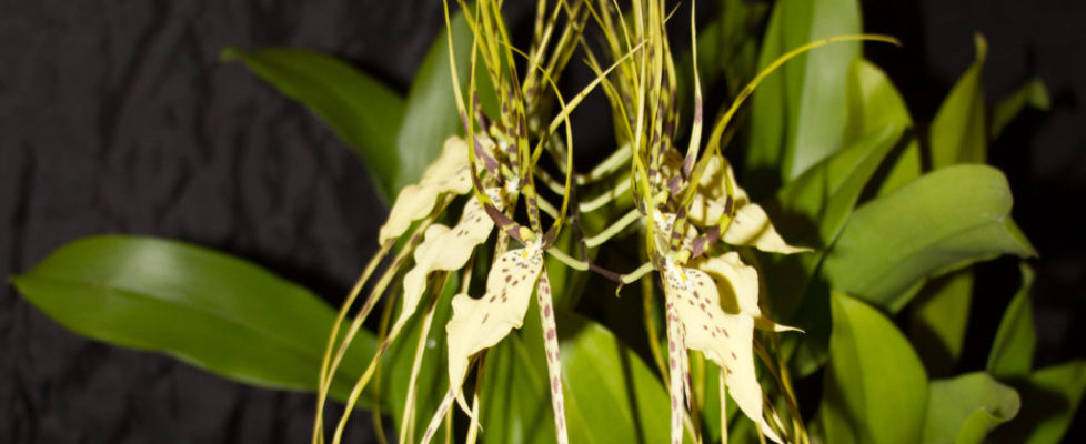 August 2019 Best Hybrid and Member's Choice - Larry Desiano -Brassia Edvah Loo (Brassia arcuigera x Brassia gireoudiana) 'Nisida' 1 AM AOS