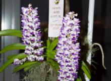 August 2019 Best Species - Micah Dault -Rhynchostylis (Rhy.) coelestis
