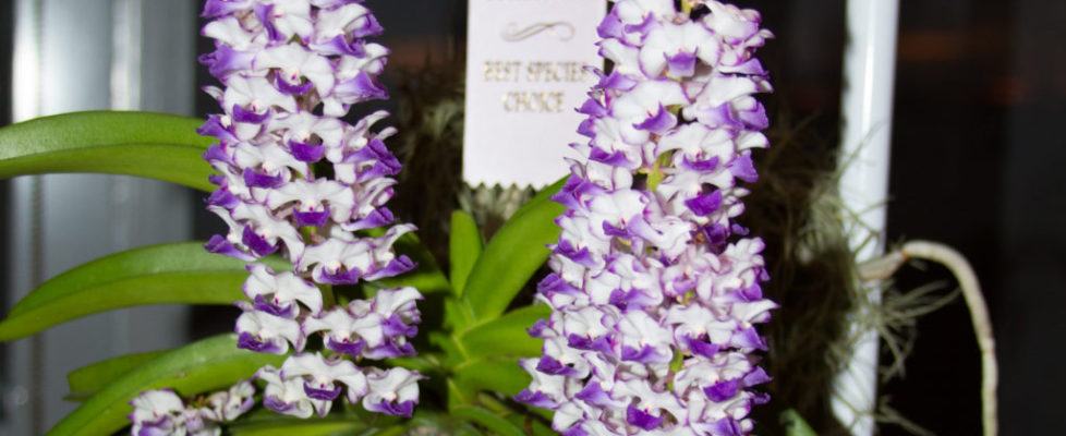 August 2019 Best Species - Micah Dault -Rhynchostylis (Rhy.) coelestis