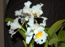 Best Hybrid - Dennis Pavlock - Cat. Esbetts Clown 'Blumen Insel'