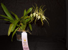 Best Species-Randy Brodsky - Brassia Maculata