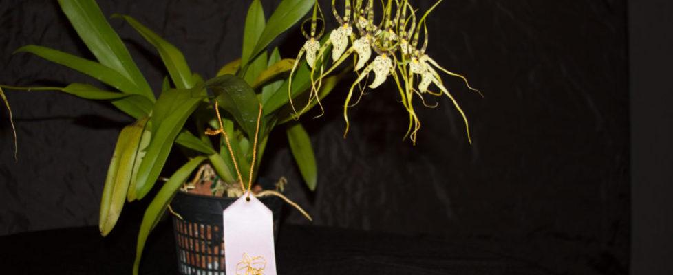 Best Species-Randy Brodsky - Brassia Maculata