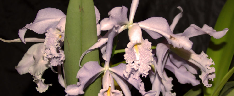 Best Species Cattleya maxima coerulea