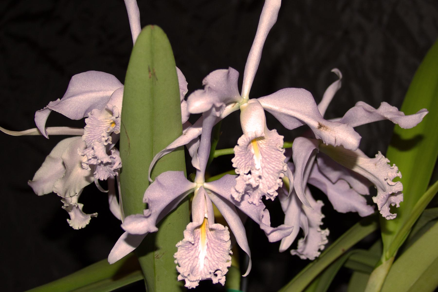 Best Species Cattleya maxima coerulea